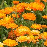 A field of pot marigolds, or calendula officinalis