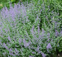 a field of catnip