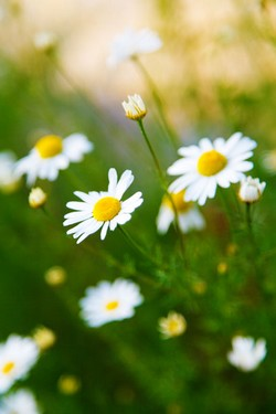 A field of the chamomile herb