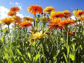 pot marigolds used to make calendula ointment